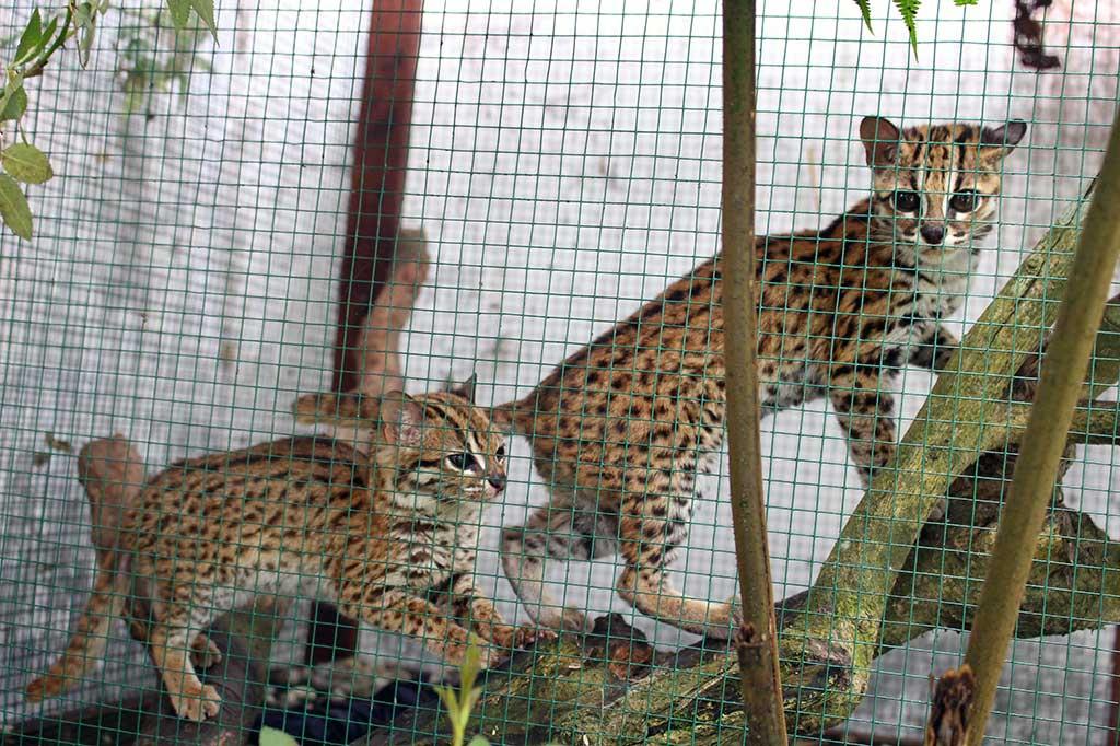 Fakta Kucing Hutan atau Macan Akar di Luar Negeri